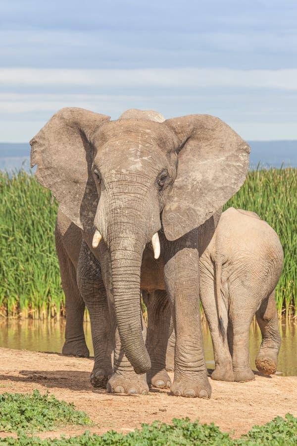阿多象国家公园的大象公牛 免版税库存照片