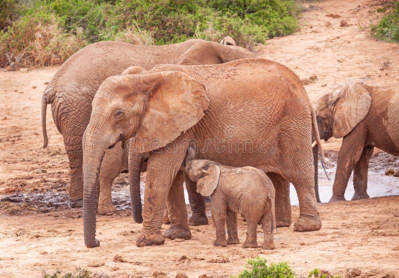 阿多象国家公园的小象吸乳 免版税图库摄影