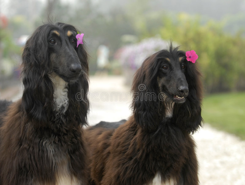 阿富汗狗追逐宠物 免版税库存照片