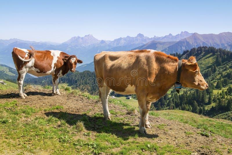 阿尔卑斯母牛瑞士 免版税图库摄影