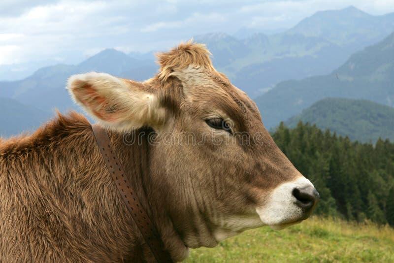 阿尔卑斯牛奶 免版税库存图片