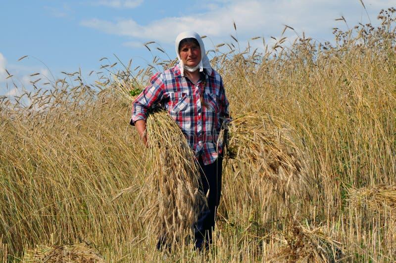 阿尔巴尼亚妇女在Turaj收获燕麦,阿尔巴尼亚村庄  库存照片