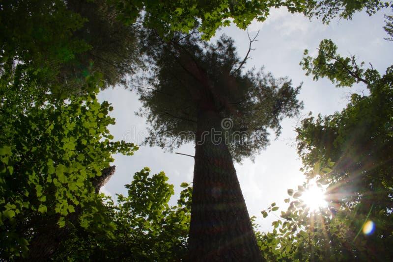 阿尔根金族公园树 库存图片