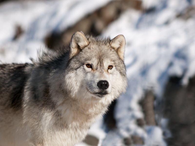 阿尔法北极公狼 免版税库存照片