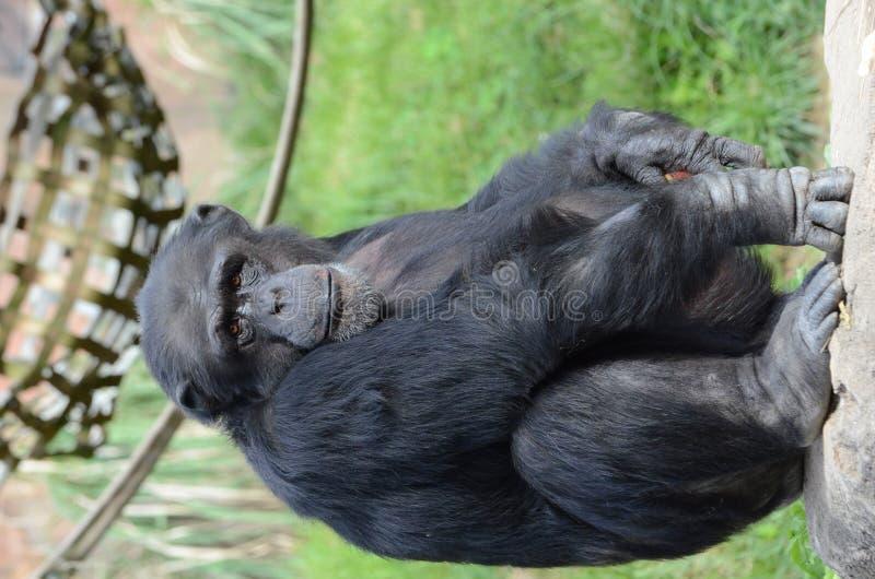 阿尔法黑猩猩 免版税库存照片