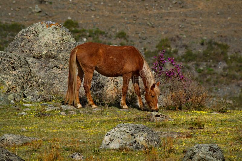 阿尔泰山的石干草原的春天颜色 库存图片