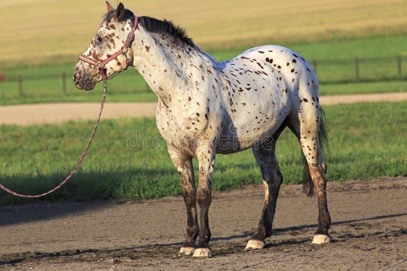 阿尔泰当地品种马花斑或染色衣服 免版税图库摄影