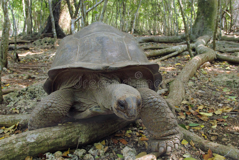 阿尔达布拉环礁巨型草龟在森林里 库存照片
