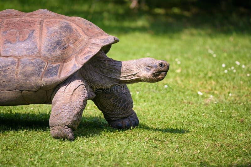 阿尔达布拉环礁巨型草龟的外形画象 库存图片