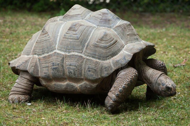 阿尔达布拉环礁巨型草龟& x28; Aldabrachelys gigantea& x29; 免版税库存图片