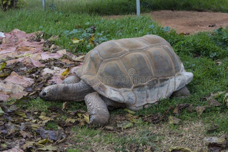 阿尔达布拉环礁草龟-乌龟 免版税库存照片