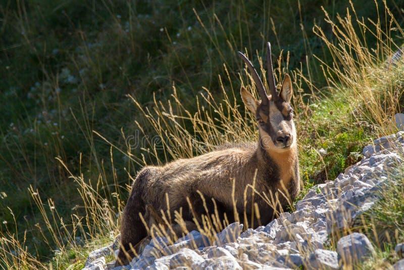 阿布鲁佐的阿布鲁佐国家公园羚羊  免版税图库摄影
