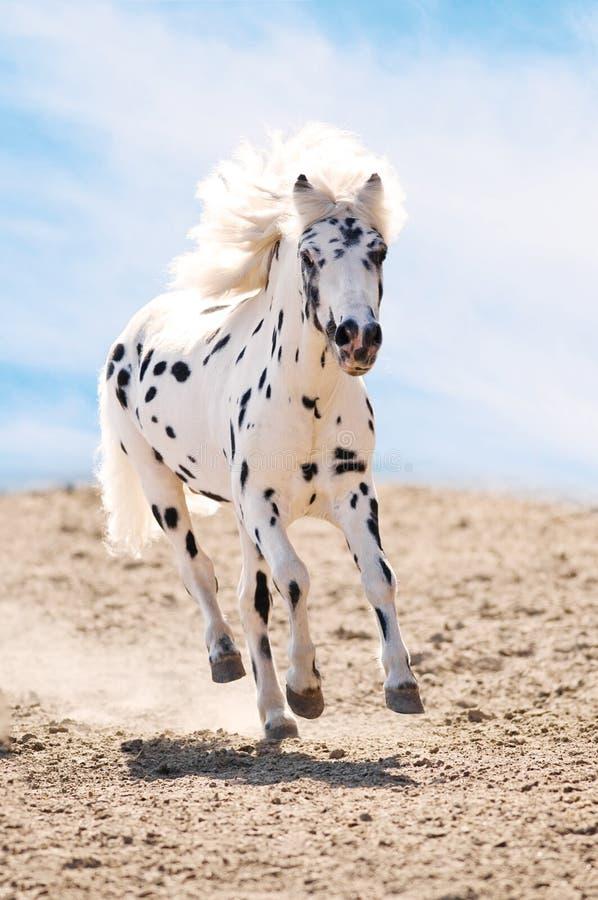 阿帕卢萨马尘土疾驰小马运行 免版税库存图片
