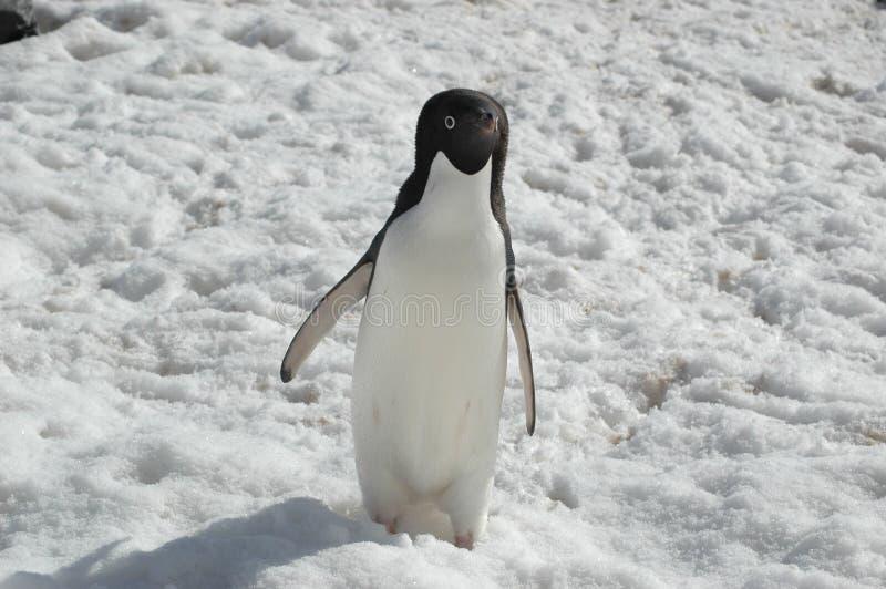 阿德力企鹅企鹅 免版税库存照片