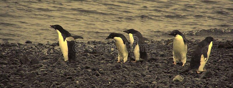 Download 阿德力企鹅混淆肯定去不是企鹅其中 库存照片. 图片 包括有 蛇麻草, 行军, 极性, 在前, 本质, 建筑师 - 3651080