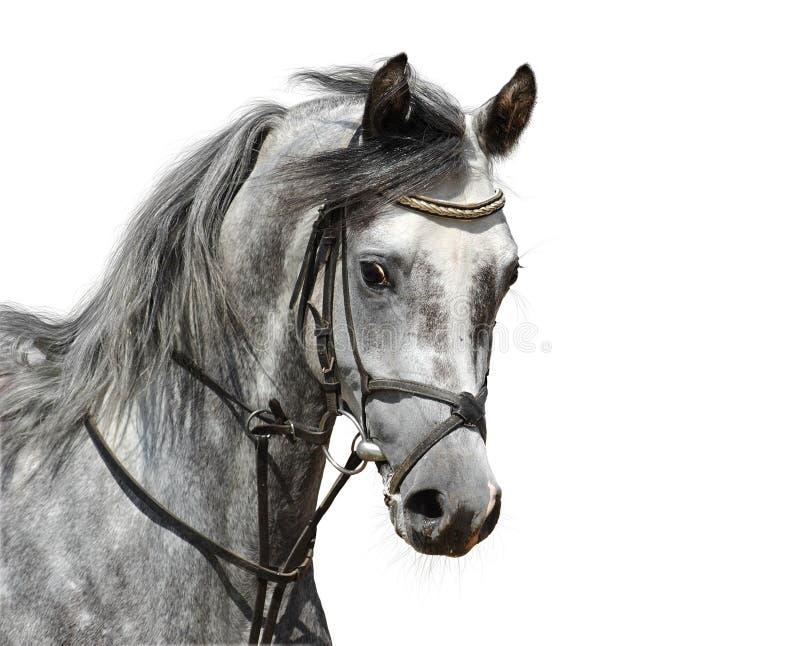 阿拉伯人起斑纹灰色马纵向 免版税库存照片