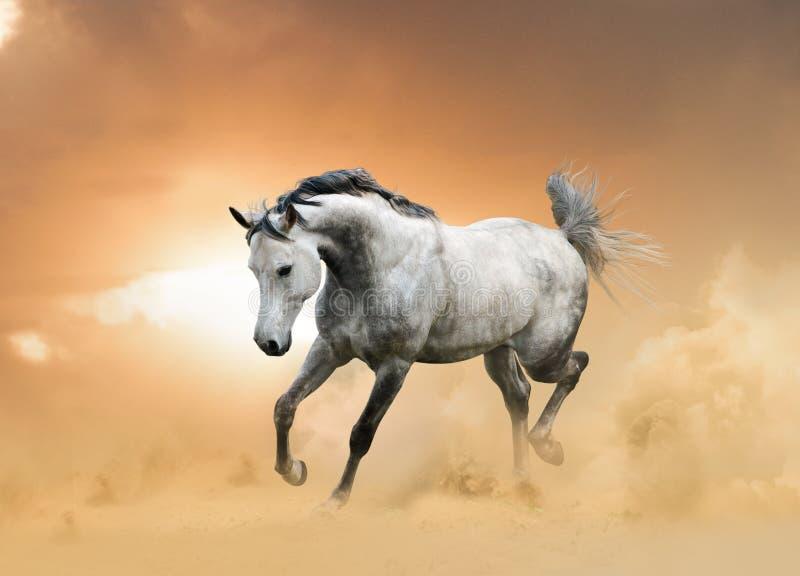 阿拉伯公马运行中 免版税库存照片