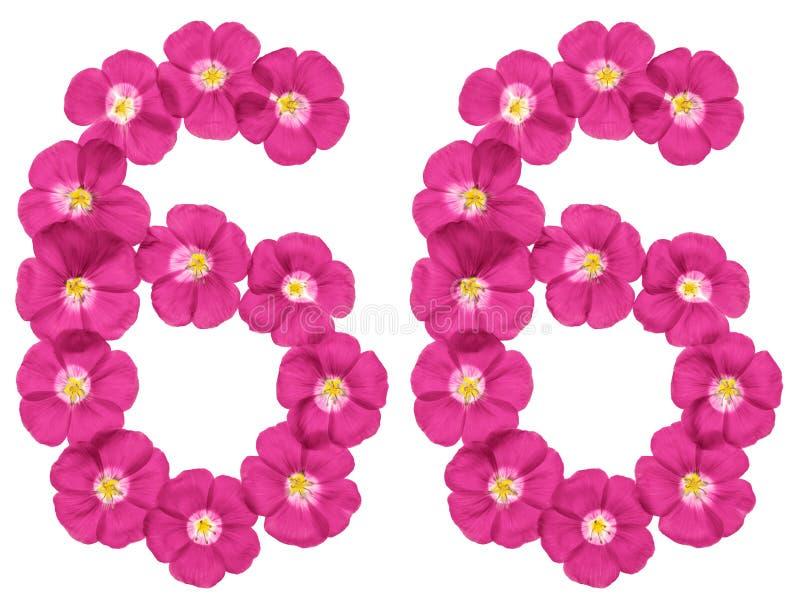 阿拉伯数字66,六十六,从胡麻桃红色花,隔绝在白色背景 皇族释放例证