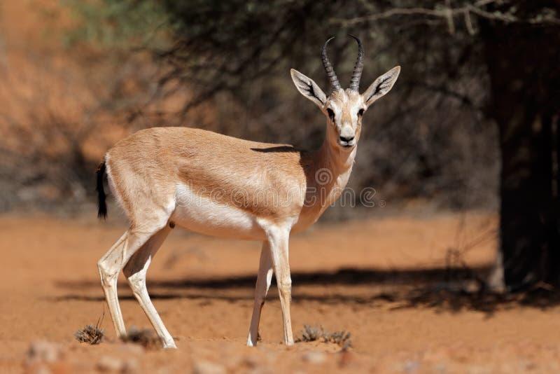 阿拉伯沙子瞪羚 免版税库存照片