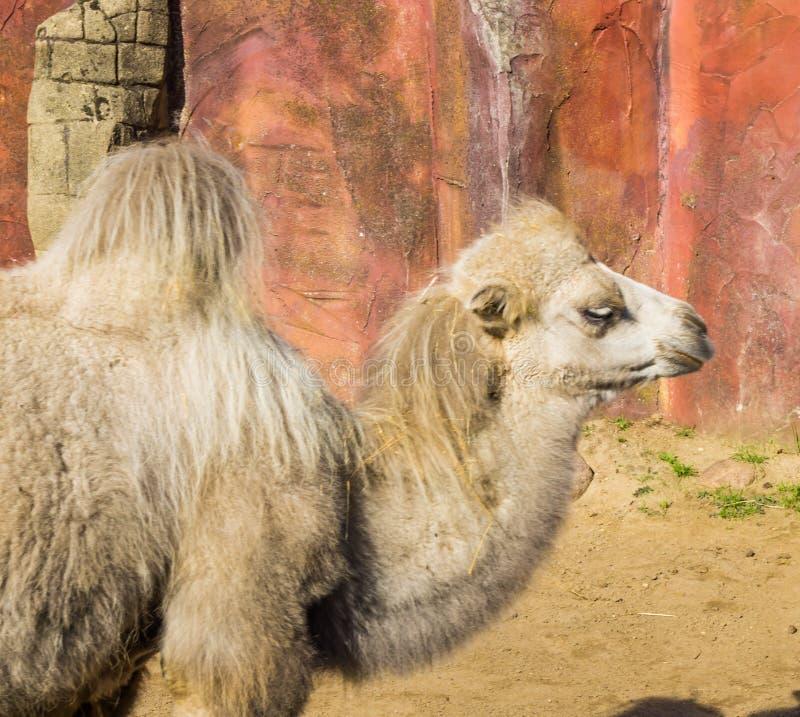 阿拉伯秀丽在一个美丽的沙漠动物的特写镜头的一张白色骆驼画象 免版税图库摄影