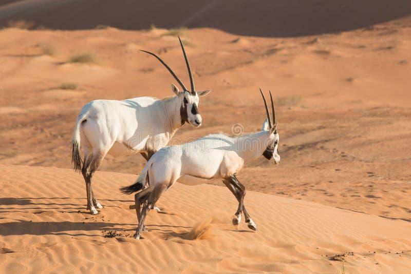 阿拉伯羚羊屬羚羊屬leucoryx在日出以后的沙漠 迪拜,阿拉伯聯合酋長國圖片