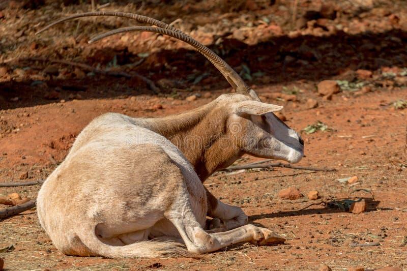 阿拉伯羚羊属 免版税图库摄影
