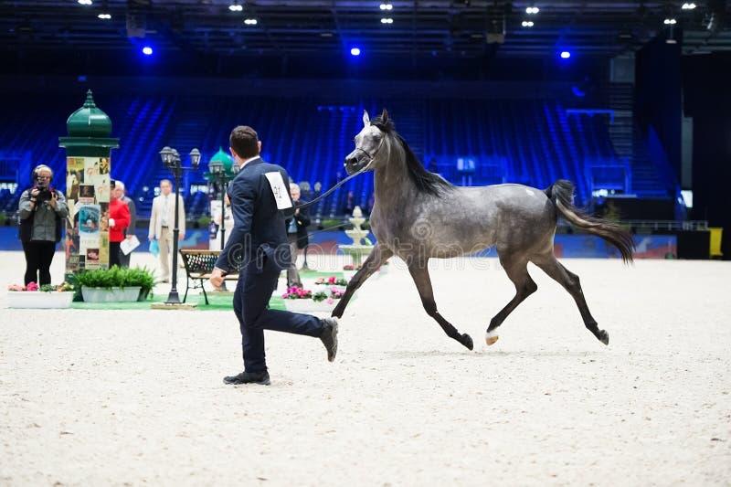阿拉伯马世界冠军, Nord Villepente在巴黎 Pari 免版税库存照片