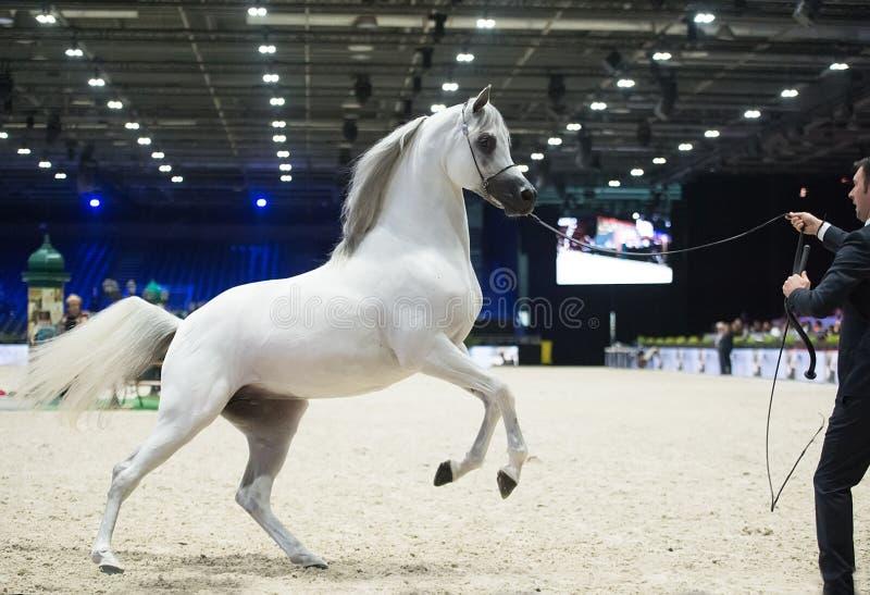 阿拉伯马世界冠军, Nord Villepente在巴黎 Pari 图库摄影