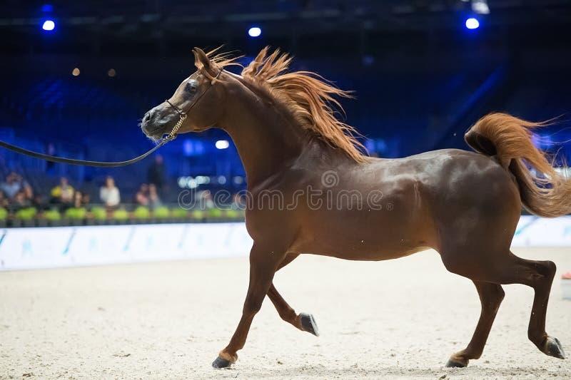 阿拉伯马世界冠军, Parc des博览会Villepint 免版税图库摄影