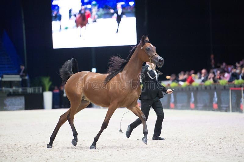 阿拉伯马世界冠军, Parc des博览会Villepint 免版税库存图片