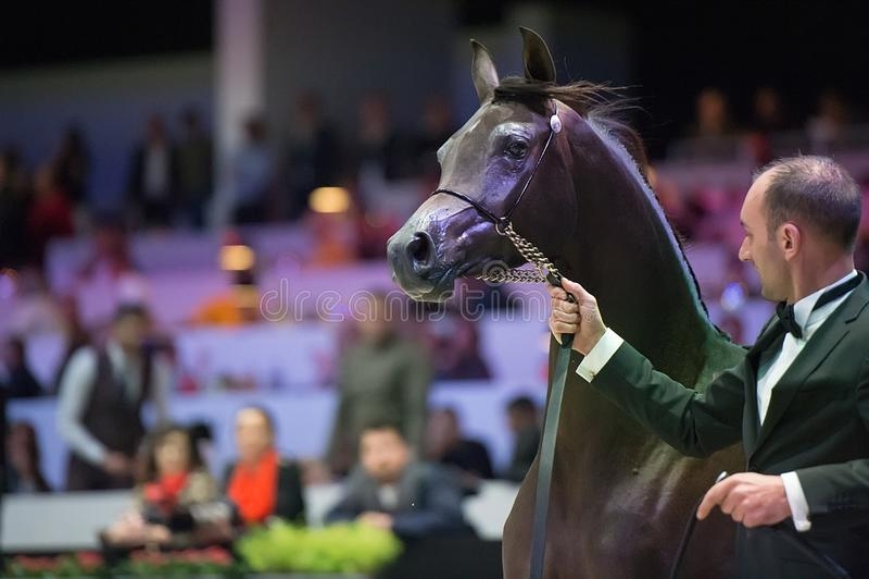 阿拉伯马世界冠军, Parc des博览会Villepint 免版税库存照片