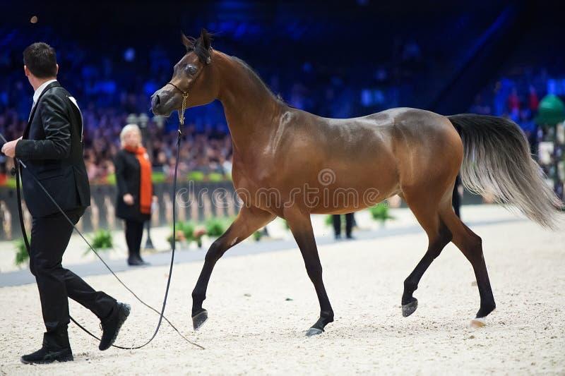 阿拉伯马世界冠军, Parc des博览会Villepint 图库摄影