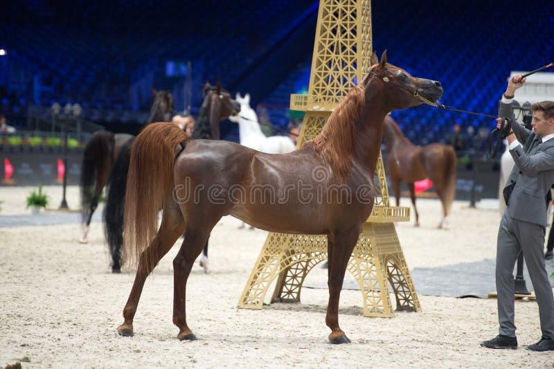 阿拉伯马世界冠军,Parc des博览会维勒潘特在巴黎 r 图库摄影