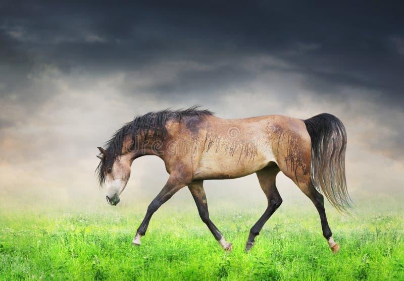 阿拉伯马奔跑在绿色领域小跑 免版税库存照片