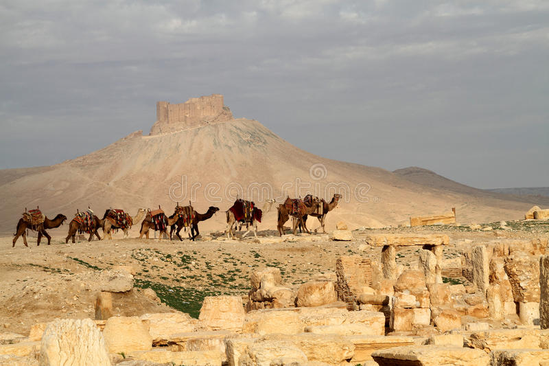 阿拉伯骆驼有蓬卡车扇叶树头榈 库存照片