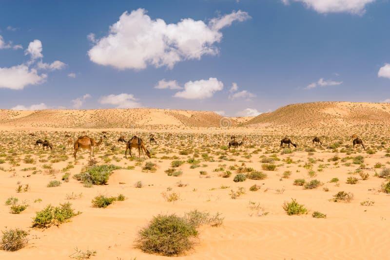 阿拉伯駱駝牧群在沙漠,摩洛哥圖片