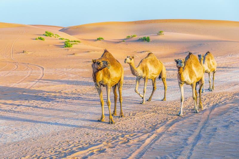 阿拉伯骆驼独峰驼家庭在阿布扎比附近的 阿拉伯联合酋长国 库存图片