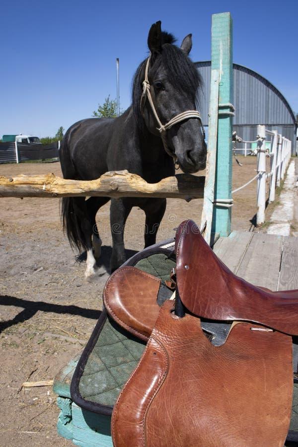 阿拉伯黑公马,稳定的背景在跑马场 图库摄影
