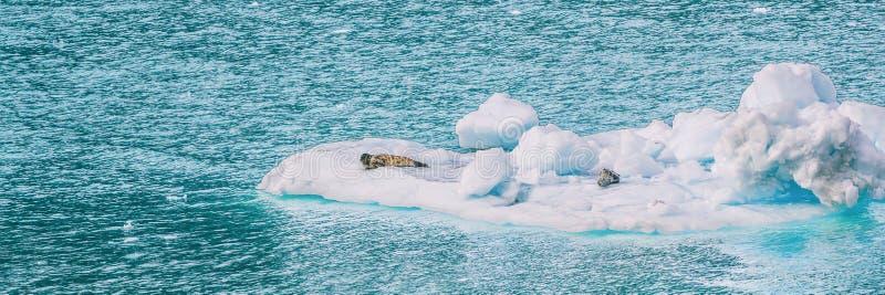 阿拉斯加冰河海湾在漂浮在蓝色海的冰山的斑海豹附近的冰川 对冰河海湾国立公园视图的游轮 免版税图库摄影