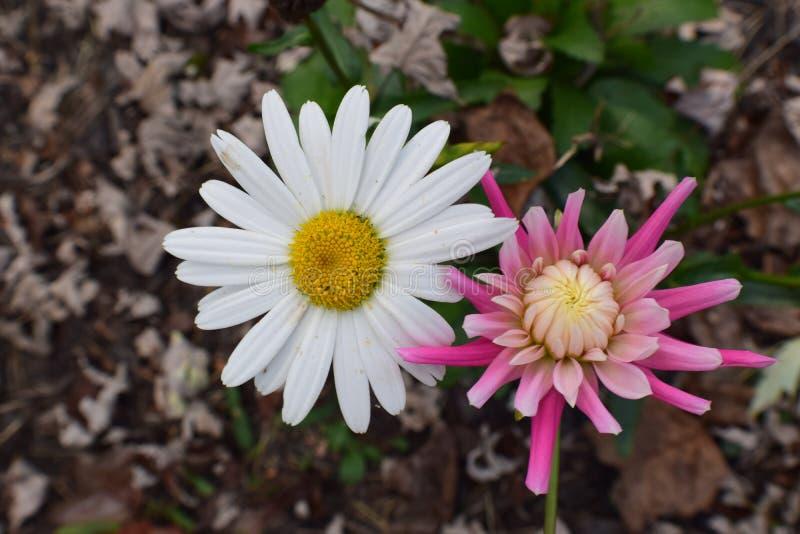 阿拉斯加大滨菊和桃红色大丽花 免版税图库摄影