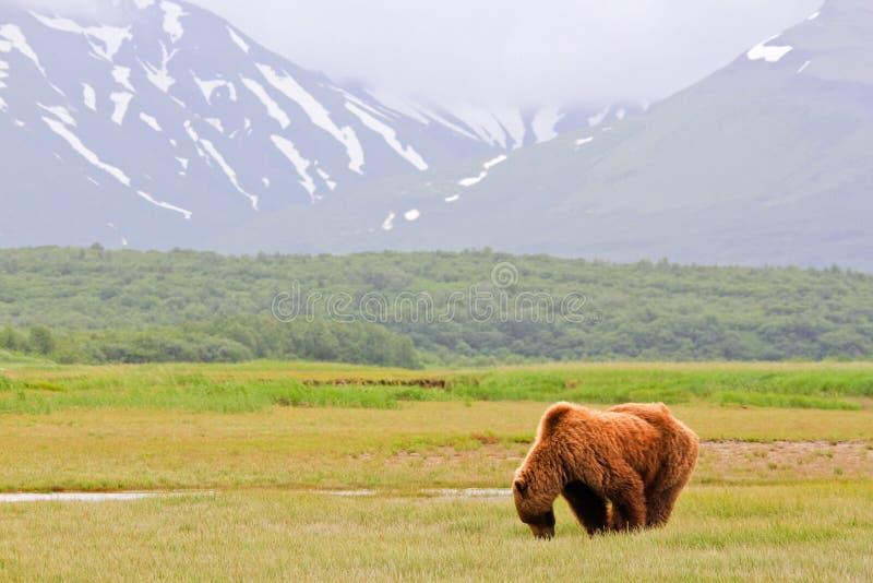 阿拉斯加布朗吃草在Katmai的北美灰熊 库存照片