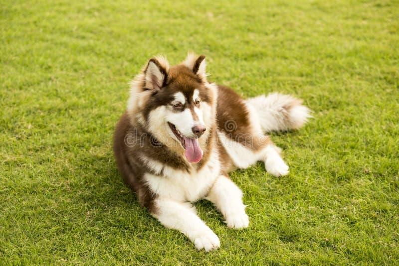 阿拉斯加拉雪橇狗 库存图片