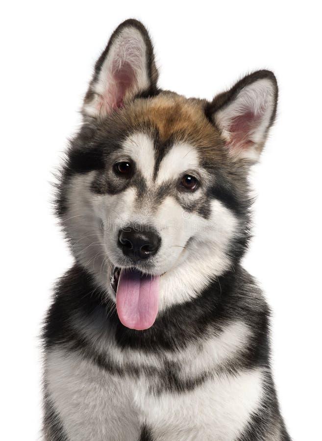 阿拉斯加接近的爱斯基摩狗小狗 免版税库存图片