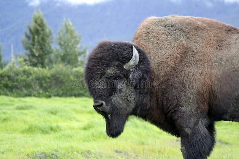 阿拉斯加水牛 库存照片