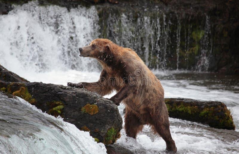 阿拉斯加熊褐色katmai 免版税库存图片