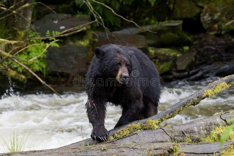 阿拉斯加熊黑色 库存图片