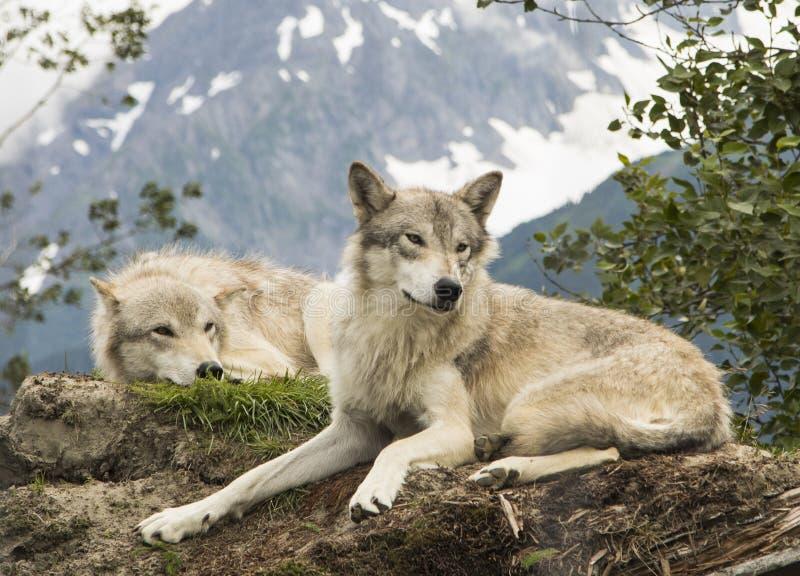 阿拉斯加的寒带草原狼 图库摄影