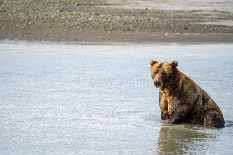 阿拉斯加的沿海棕色北美灰熊在水中坐作为他为食物钓鱼 库存图片