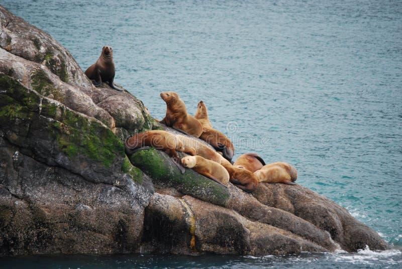 阿拉斯加的海狮 免版税库存照片