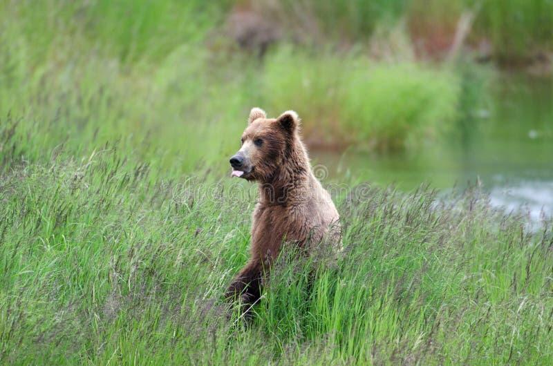 阿拉斯加的熊褐色后腿 库存图片